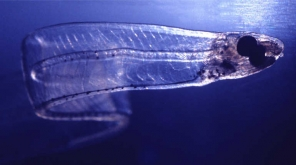 Transparent Eels May Help A lot To Turn Underwater Exploration Even More Amazing