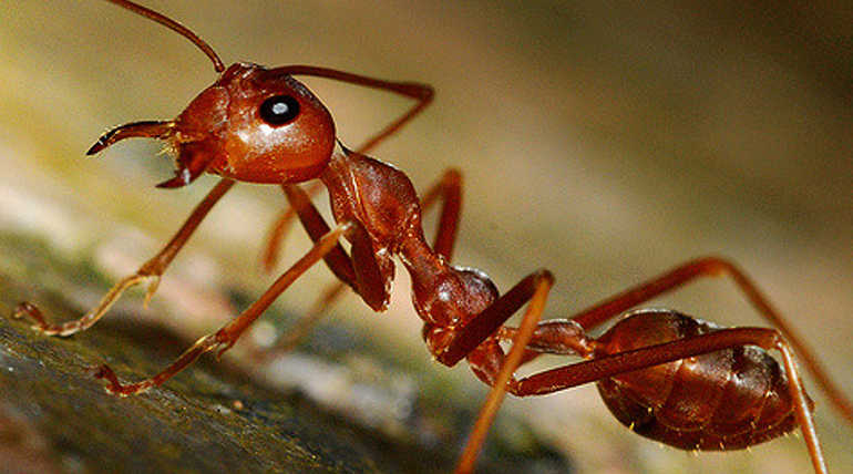Defense Mechanism Of This ant species Is A Suicide Mission