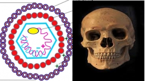 Hepatitis B Virus Existed In DNAs Of 7000 Years Old Ancient Skeletons