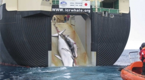 Scientific Whaling Program Of Japan That Killed 333 Minke Whales For Commercial Use. Japanese Whale Hunting fleet while hunting whales