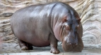 Hippos Got A Special Weapon To Kill Fishes Of Mara River