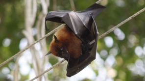 Kerala On High Alert After Noticed That Death Caused By Nipha. Representation of Indian flying Fox