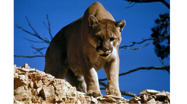 Mountain Lion sneaks into Residence in Colorado: Ate pet cat and rested at couch - Representation image