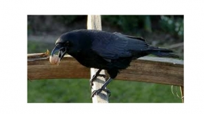 Crows Hired for Cleaning Cigarette butts in France; Surprisingly trained