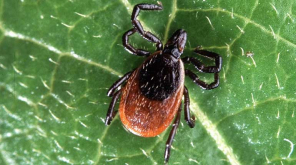 CDC Warning, Tick that produce Deadly Disease to Humans in U.S