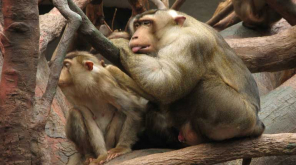 Pig-tailed Macaques saves Palm oil plantations in Malaysia