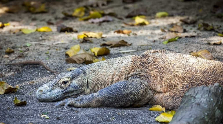 Komodo Dragon Family would have had larger heads in Ancient times