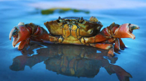 Scientists are Comparing Human Brain with the Nervous System of Crab