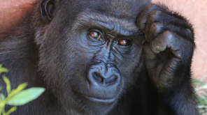 Chimpanzees Help Each Other By Sharing Tools When Task Gets Complex