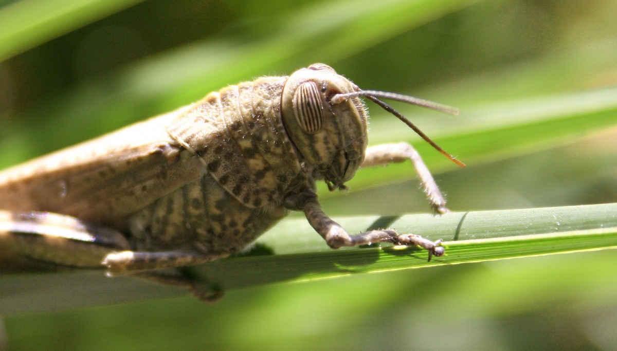 Locust Insect / Representation