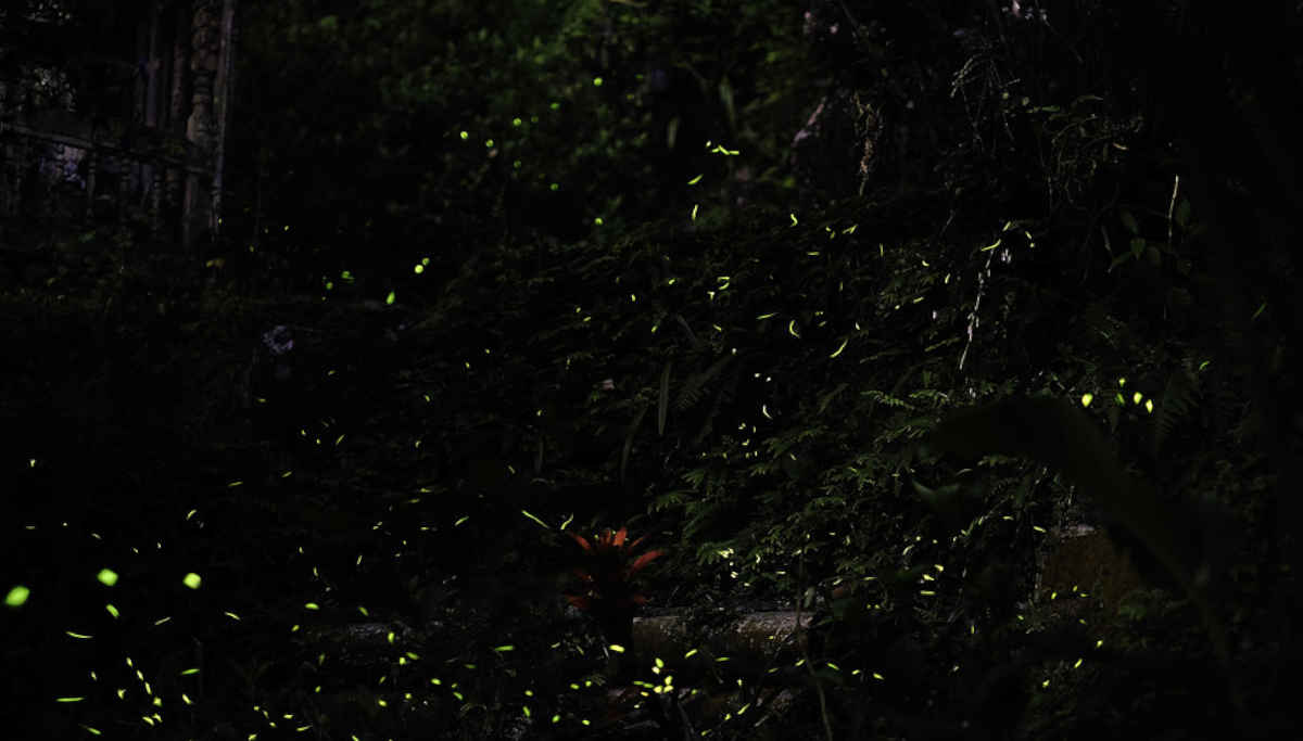 Fireflies in the woods / Representation