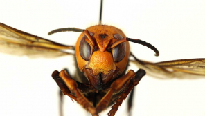 Murder hornet kills Spain Man and the Real Murder Insect. Photo courtesy WSDA
